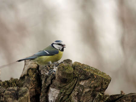 caeruleus: Blue Tit (Parus caeruleus) on a tree stump Stock Photo