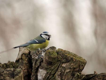 caeruleus: Tit azul (Parus caeruleus) sobre un toc�n de �rbol