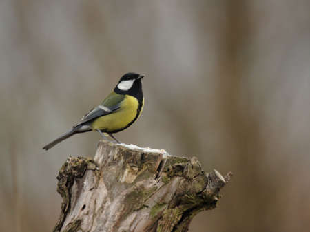 parus major: Great Tit (Parus major) sitting on a tree stump