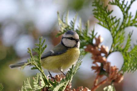 caeruleus: Herrerillo (Parus caeruleus) sentado en un �rbol