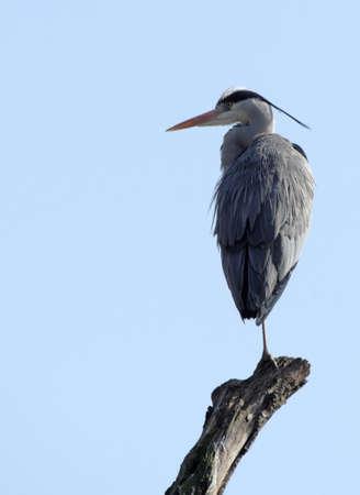 grey heron: Grey Heron (Ardea cinerea) sitting on a branch before blue sky Stock Photo