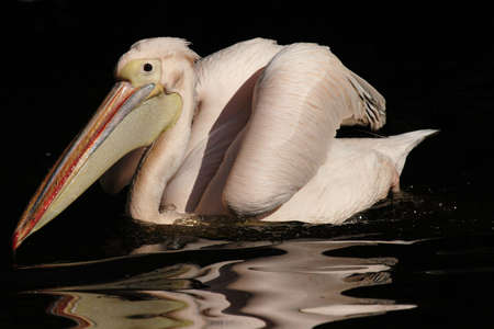 Swimming Great White Pelican photo
