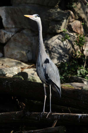 lonely bird: Gray Heron (Ardea cinerea) standing at a lakeside