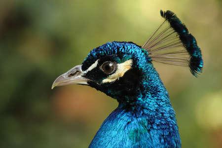common peafowl: Portrait of a beautiful Peacock