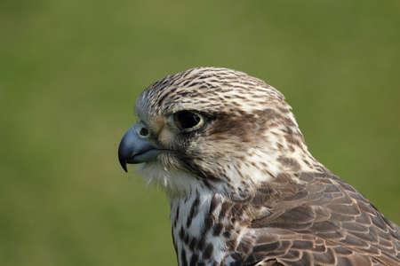 cherrug: Close up of a Saker Falcon (Falco cherrug)