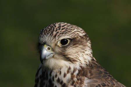 cherrug: Close up of a Saker Falcon