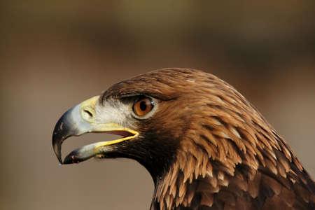 aquila: Portrait of a Golden Eagle (Aquila chrysaetos)