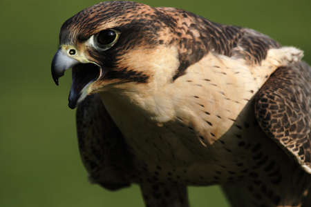 Close up of a Peregrine Falcon (Falco peregrinus) photo
