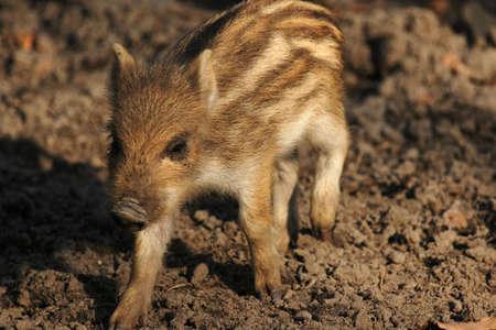 jabali: Pareja de cerdos salvajes en la madera