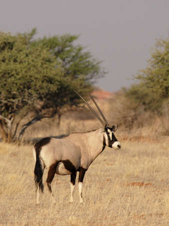 Gemsbok (Oryx gazella) in the Kalahari Desert, Namibia Stock Photo - 4783418