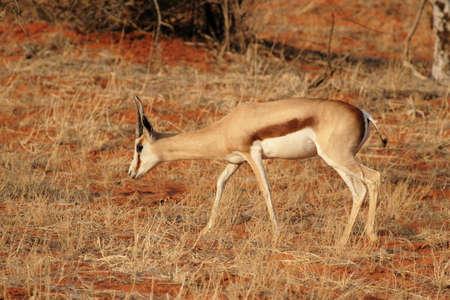 antidorcas: Springbok (Antidorcas marsupialis) in the Kalahari Desert, Namibia