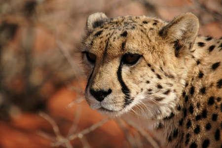 speckle: Close up of a Cheetah (Acinonyx jubatus)