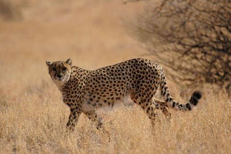 jubatus: Cheetah (Acinonyx jubatus) in the Kalahari Desert, Namibia
