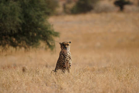 speckle: Cheetah in the Kalahari desert, Namibia