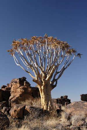 dichotoma: Quiver Tree (Aloe dichotoma) in Namibia Stock Photo