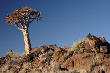 quiver: Quiver Tree in de woestijn van Namibië