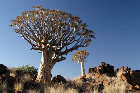 quiver: Quiver Trees (Aloe dichotoma) in Namibia