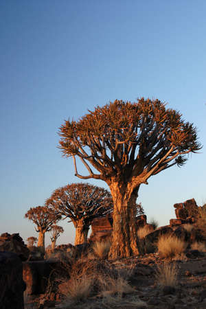 quiver: Quiver Trees in early morning light in Namibia