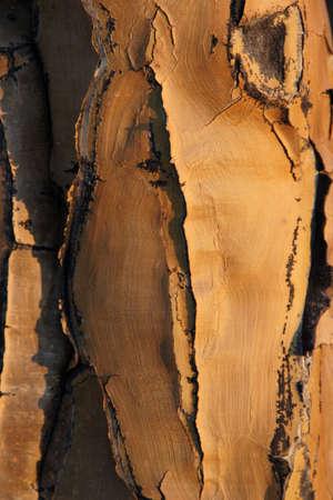 quiver: Gestructureerde schors van een boom quiver