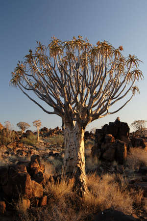quiver: Quiver tree in the desert in Namibia