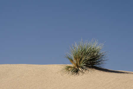 hassock: Grass on a sand dune in the desert in Namibia Stock Photo
