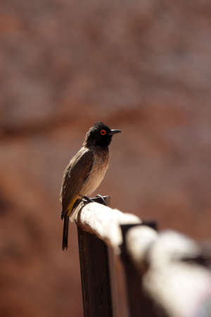 African Red-eyed Bulbul (Pycnonotus nigricans) in Namibia photo