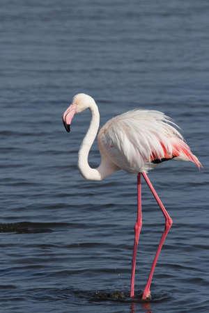 phoenicopterus: Greater Flamingo (Phoenicopterus ruber) in piedi in acqua della costa della Namibia