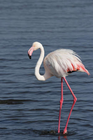 phoenicopterus: Greater flamingo (Phoenicopterus ruber) standing in the shallow water of the Namibian coast