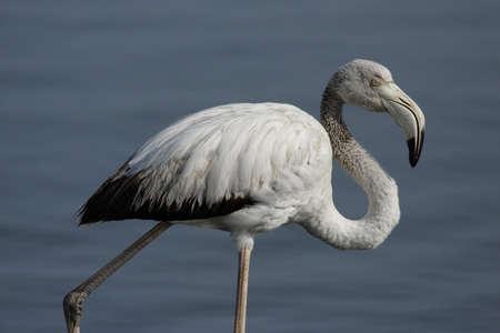 phoenicopterus: Juvenile Greater flamingo (Phoenicopterus ruber) in Namibia