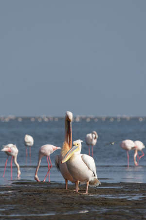 Great White Pelicans (Pelecanus onocrotalus) at the coast in Namibia Stock Photo - 4783066