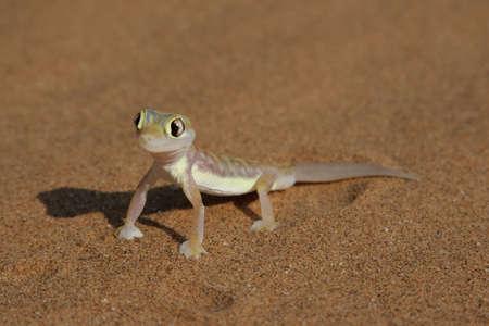 namib: Palmatogecko (Pachydactylus rangei), also known as Web-footed Gecko, a nocturnal gecko endemic to the Namib Desert.