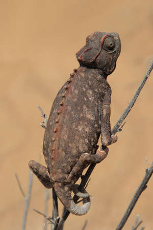 africa chameleon: Namaqua Chameleon (Chamaeleo namaquensis) in the Namib Desert