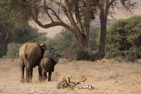 The desert Elephants of northern Namibia are perfectly adapted to a living in their very dry territory; this shot was taken in the dry riverbed of the Huab River, Damaraland. photo