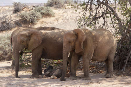 A family of desert elephants relaxes in the shadow of an acacia tree; Damaraland, Namibia photo