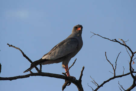 melierax: Dark Chanting Goshawk (Melierax metabates) in Namibia