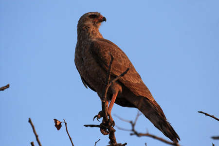 chanting: Juvenile Dark Chanting Goshawk (Melierax metabates), Etosha, Namibia