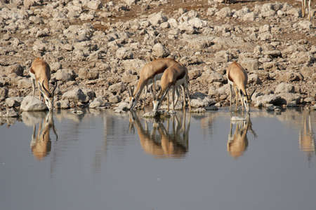 marsupialis: Springbok (Antidorcas marsupialis) at the waterhole in the Etosha National Park, Namibia