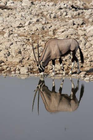 pozo de agua: Gemsbok (Oryx gazella) en la charca en el Parque Nacional de Etosha, Namibia