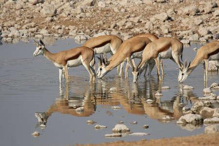 antidorcas: Springbok (Antidorcas marsupialis) at the watehole in the Etosha National Park, Namibia