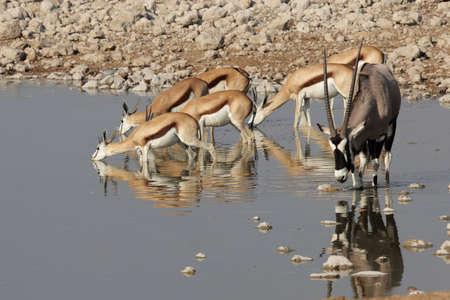 antidorcas: Springbok (Antidorcas marsupialis) and Gemsbok (Oryx gazella) at the watehole in the Etosha National Park, Namibia Stock Photo