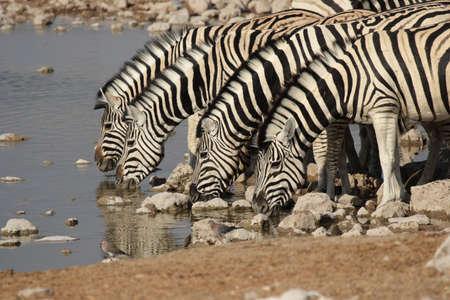 pozo de agua: Llanuras Zebra (Equus quagga), en la charca en el Parque Nacional de Etosha, Namibia
