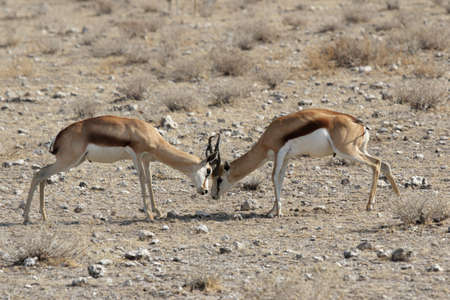 antidorcas: Fighting Springbok (Antidorcas marsupialis) in the Etosha National Park, Namibia