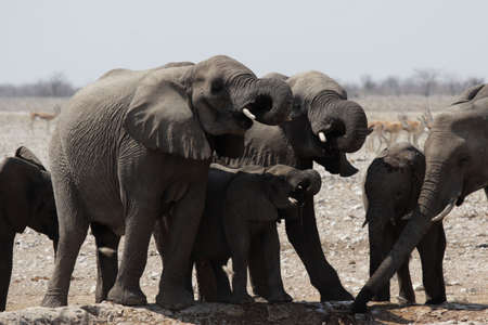 Drinking Elephants in the Etosha National Park, Namibia photo