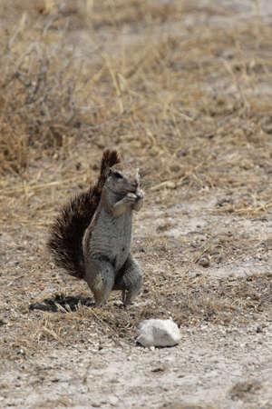 xerus inauris: Southern African Ground Squirrel (Xerus inauris) in the Etosha National Park, Namibia