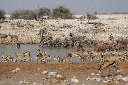 waterhole: Animals drinking at the waterhole of Okaukuejo in the Etosha National Park, Namibia