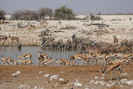 pozo de agua: Los animales bebiendo en el pozo de agua de Okaukuejo en el Parque Nacional de Etosha, Namibia,