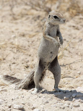 xerus inauris: Southern African Ground Squirrel (Xerus inauris) in the Etosha National Park, Namibia