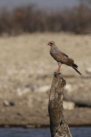 chanting: Juvenile Dark Chanting Goshawk (Melierax metabates) in the Etosha National Park, Namibia