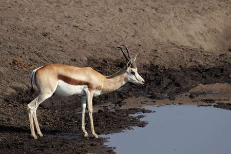 pozo de agua: Springbok en el abrevadero en el Parque Nacional de Etosha, Namibia