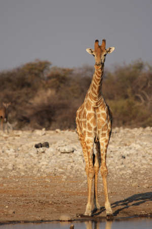 waterhole: Giraffe at the waterhole in the Etosha National Park, Namibia Stock Photo